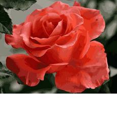 Коралловая роза MR-Q2158