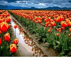 VP1164 Картина по номерам Море тюльпанов DIY Babylon