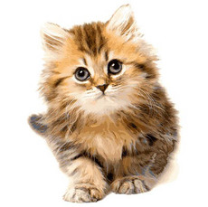 Сероглазый котик VP1021